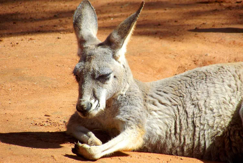 Ver canguros en Australia